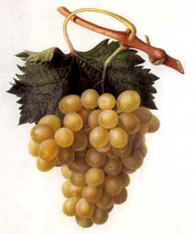 Grapes.jpg (10577 bytes)