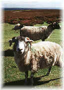 Sheep5.jpg (5417 bytes)